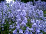 Image of Bluebells of Scotland