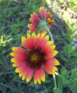 oklahoma-wildflower