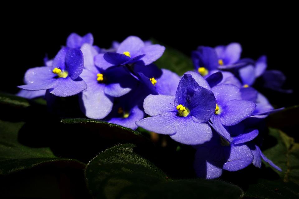 purple violets on a black background