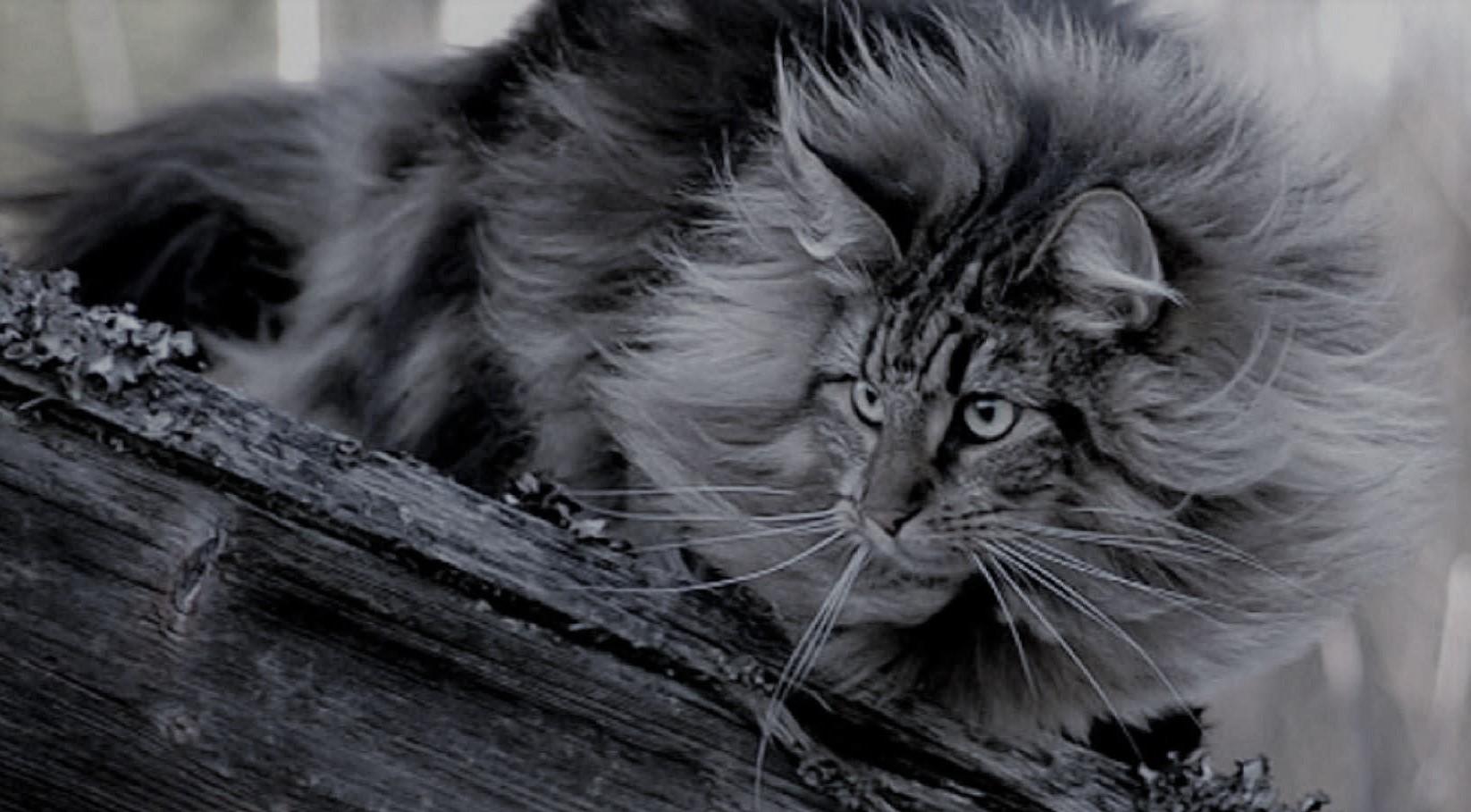 Long-Hair-Norwegian-Forest-Cat