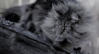 Long-Hair-Norwegian-Forest-Cat