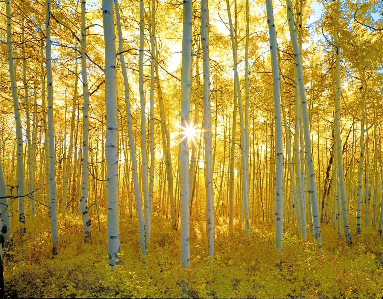 Aspen forest at daybreak