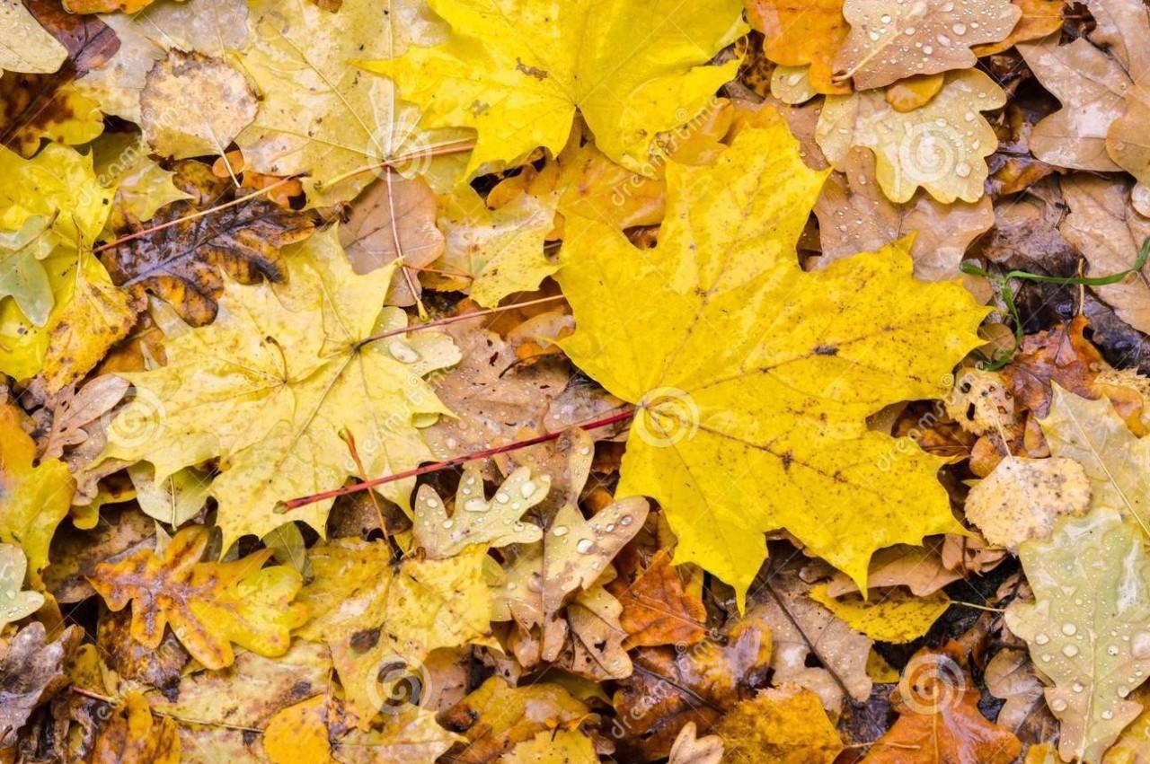 Oak leave