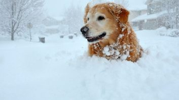 golden retriever sitting neck-deep in snow