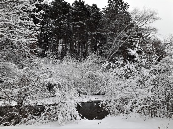 snow-covered trees and shrub around a flowing stream