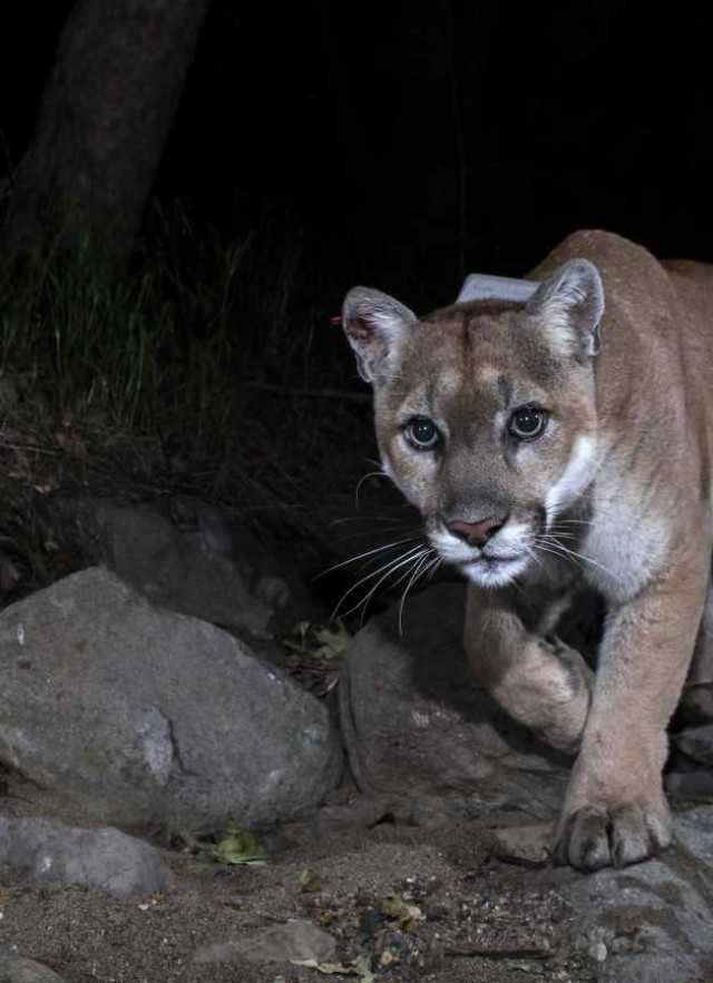 Cougar at night