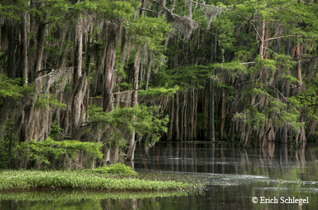Cypress swamp, Caddo Lake State park, TX