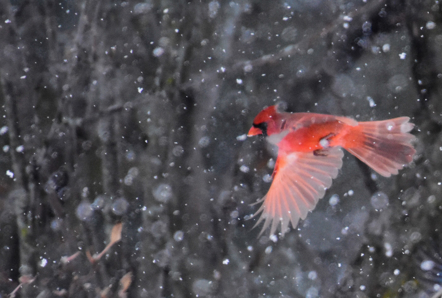 Cardinal in flight thru snow