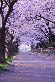Arbor of cherry blossoms